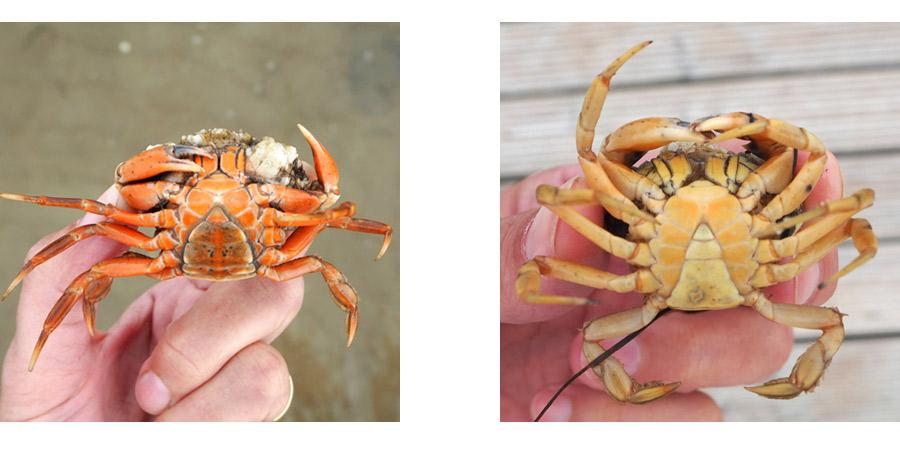 Unterschiede bei männlichen und weiblichen Strandkrabben