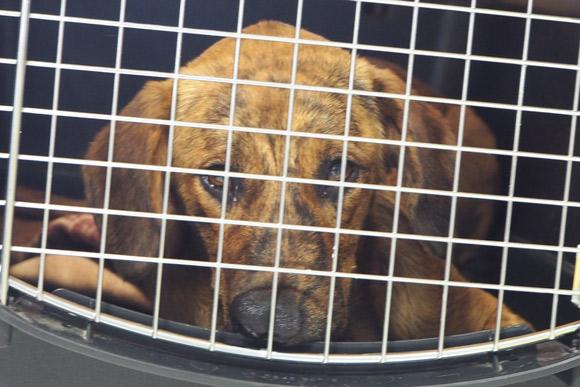 Importierte Hund aus Teneriffa