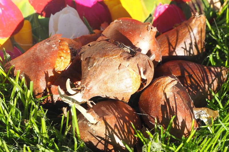 Der Igel soll Winterschlaf halten, bis die Tulpen blühen.