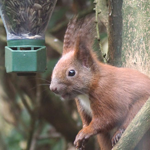 Auch Eichhörnchen lieben Vogelfutter