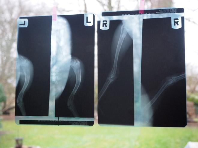 Röntgenbild Huhn