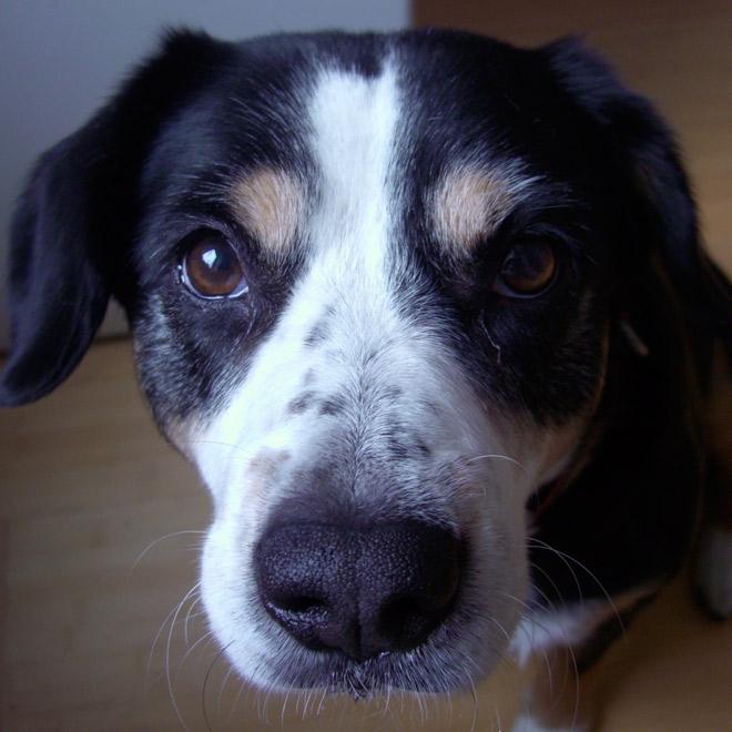 Dieser Hund leidet immer wieder an Halsentzündungen