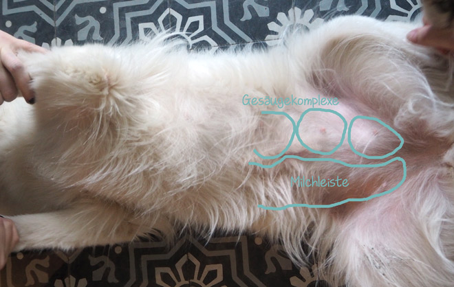 Gesäugetumoren- Lage beim Hund