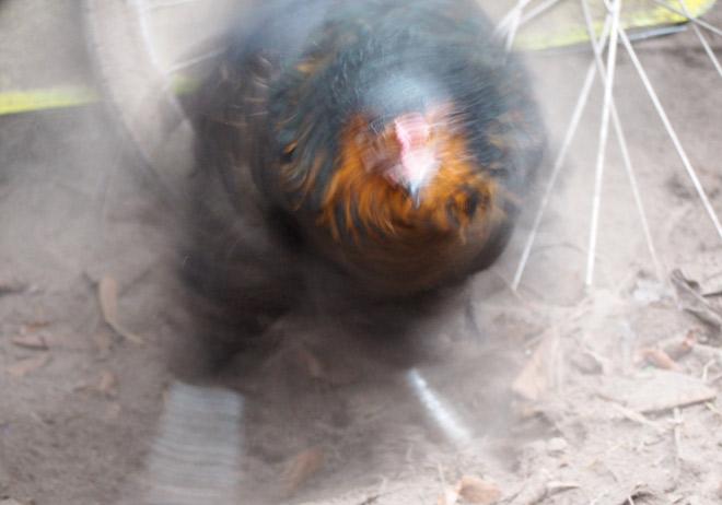 Huhn Polly nimmt ein Staubbad