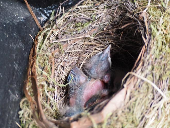 Küken einer Schwarzdrossel im Nest