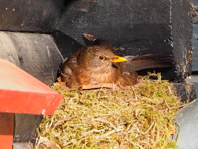 Amselmutter sitzt auf Nest und brütet