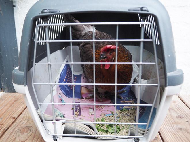 Ein Huhn alleine in einer Transportbox