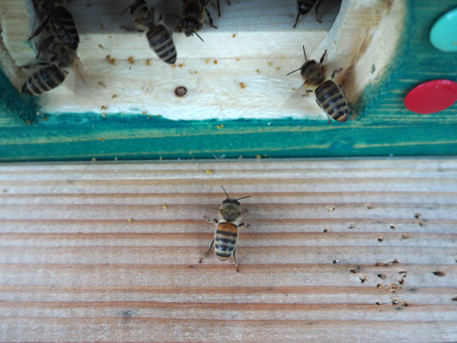 Diese Wächterbienen lassen eine Biene eines anderen Volkes nicht durch.