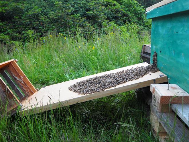 Restliche Bienen aus der Schwarmkiste auf dem Weg in die Beute.