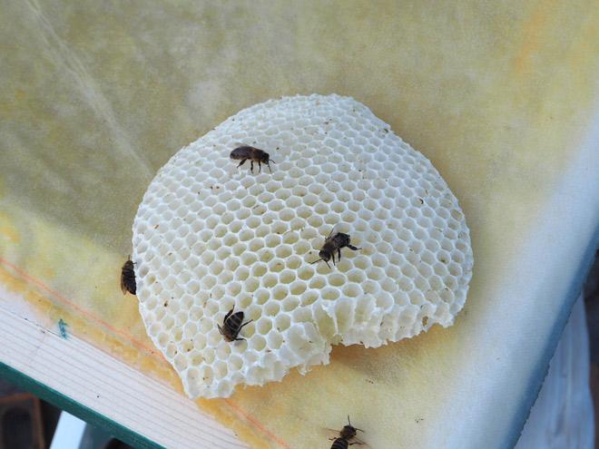 Diese Wabe haben die Bienen innelhalb von 2 Tagen gebaut.