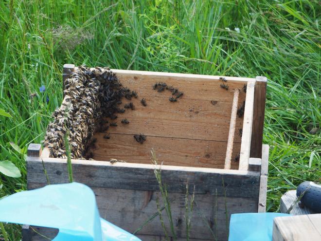 Diese Bienen sitzen noch in der Schwarmkiste