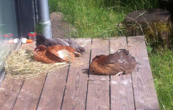 Drei Hühner liegen im Heubett