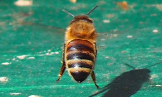 Sommerbiene im Anflug