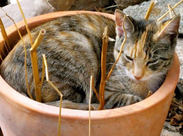 Feline Odontoklastische Resorptive Läsionen bei einer Katze
